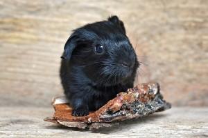 guinea-pig-850563_640