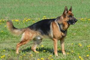 german-shepherd-405503_1280