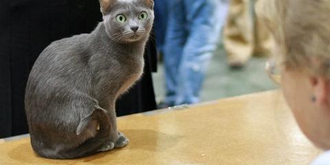 Korat_in_cat_show