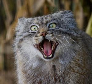 @ http://www.boredpanda.com/pallas-cat-manul-funny-face-expressive/